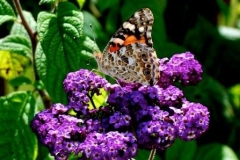 Heliotrope with painted lady butterfly